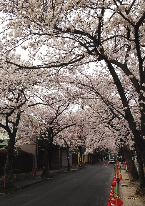桜のトンネル1 (493x700) (2).jpg