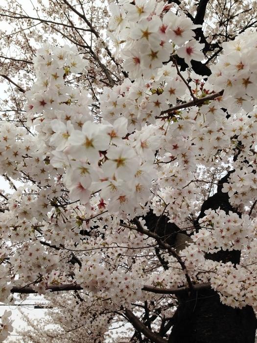 桜のトンネル2 (525x700).jpg