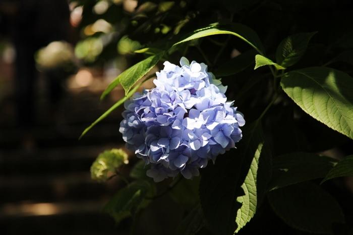紫陽花寺5 (700x467).jpg